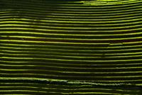 Great terrace rice fields 11098078256| 写真素材・ストックフォト・画像・イラスト素材|アマナイメージズ