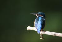Kingfisher 11098078402| 写真素材・ストックフォト・画像・イラスト素材|アマナイメージズ