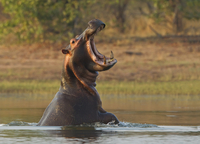 Angry Hippo 11098078609| 写真素材・ストックフォト・画像・イラスト素材|アマナイメージズ