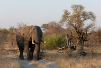 a large elephant walking through a dry grass field