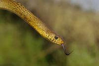 Rat Snake 11098078881| 写真素材・ストックフォト・画像・イラスト素材|アマナイメージズ