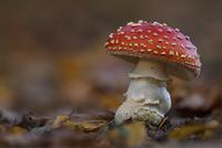 Amanita muscaria 11098078982| 写真素材・ストックフォト・画像・イラスト素材|アマナイメージズ