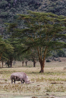 a group of sheep grazing on a dry grass field