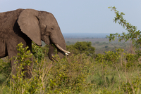 Wild elephant eating 11098079063| 写真素材・ストックフォト・画像・イラスト素材|アマナイメージズ