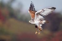 Ferruginous Hawk 11098079094| 写真素材・ストックフォト・画像・イラスト素材|アマナイメージズ