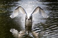 Angry Swan 11098079123| 写真素材・ストックフォト・画像・イラスト素材|アマナイメージズ