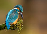 Kingfisher 11098079144| 写真素材・ストックフォト・画像・イラスト素材|アマナイメージズ