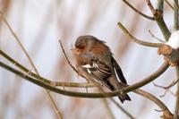 Brown-gray small bird 11098079148| 写真素材・ストックフォト・画像・イラスト素材|アマナイメージズ