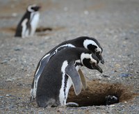 Magelan penguins 11098079151| 写真素材・ストックフォト・画像・イラスト素材|アマナイメージズ