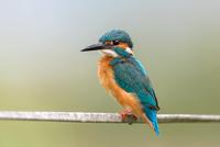 Common Kingfisher 11098079219| 写真素材・ストックフォト・画像・イラスト素材|アマナイメージズ