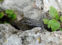 Curious Lizard 11098079220| 写真素材・ストックフォト・画像・イラスト素材|アマナイメージズ