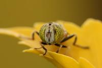 Sweat bee 11098079235| 写真素材・ストックフォト・画像・イラスト素材|アマナイメージズ