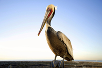Pelican on the pier- Oceanside January 21, 2013
