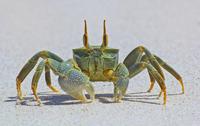 Horn-eyed ghost crab 11098079262| 写真素材・ストックフォト・画像・イラスト素材|アマナイメージズ