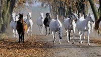 Running arabian mares