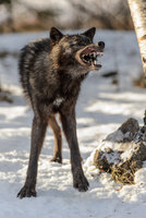 Big Bad Wolf 11098079296| 写真素材・ストックフォト・画像・イラスト素材|アマナイメージズ