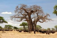 Under the baobab shadow 11098079347| 写真素材・ストックフォト・画像・イラスト素材|アマナイメージズ