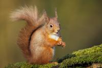 Red Squirrel 11098079390  写真素材・ストックフォト・画像・イラスト素材 アマナイメージズ