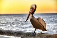Pelican on the pier in Oceanside - February 28, 2013 11098079391| 写真素材・ストックフォト・画像・イラスト素材|アマナイメージズ