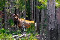 Elk in the Jungle