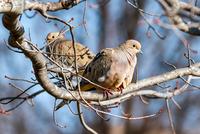 Mourning Doves 11098079401| 写真素材・ストックフォト・画像・イラスト素材|アマナイメージズ