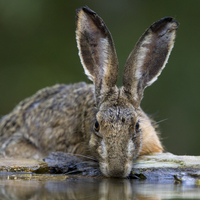 Brown hare drinking from pool