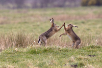 Brown hare boxing