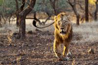 King of the Jungle... 11098079479| 写真素材・ストックフォト・画像・イラスト素材|アマナイメージズ