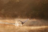 Swan Taking Off in Water 11098079483| 写真素材・ストックフォト・画像・イラスト素材|アマナイメージズ