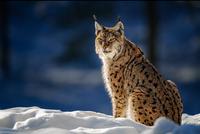 Beauty in the Snow 11098079485| 写真素材・ストックフォト・画像・イラスト素材|アマナイメージズ