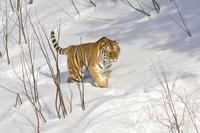 Siberian tiger 11098079529| 写真素材・ストックフォト・画像・イラスト素材|アマナイメージズ
