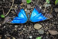 Blue Butterfly at The Seattle Center 11098079660| 写真素材・ストックフォト・画像・イラスト素材|アマナイメージズ