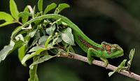 Chameleon 11098079675| 写真素材・ストックフォト・画像・イラスト素材|アマナイメージズ