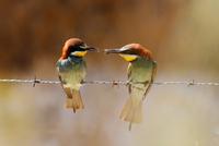 Bee-eater 11098079748| 写真素材・ストックフォト・画像・イラスト素材|アマナイメージズ