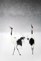 Crane in the snow 11098079814| 写真素材・ストックフォト・画像・イラスト素材|アマナイメージズ