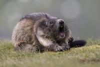 The tired marmot 11098079821| 写真素材・ストックフォト・画像・イラスト素材|アマナイメージズ