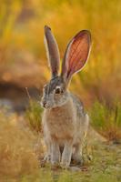Wild Rabbit 11098079906| 写真素材・ストックフォト・画像・イラスト素材|アマナイメージズ