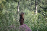 Marmot 11098079937| 写真素材・ストックフォト・画像・イラスト素材|アマナイメージズ