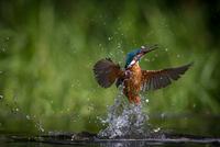 Diving kingfisher 11098080004| 写真素材・ストックフォト・画像・イラスト素材|アマナイメージズ