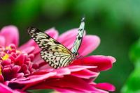 Butterfly 11098080116| 写真素材・ストックフォト・画像・イラスト素材|アマナイメージズ
