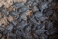 Green turtles / Chelonia Mydas