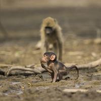 Baby Chacma Baboon (Papio ursinus) in mud 11098080213| 写真素材・ストックフォト・画像・イラスト素材|アマナイメージズ