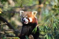 the red panda 11098080268| 写真素材・ストックフォト・画像・イラスト素材|アマナイメージズ