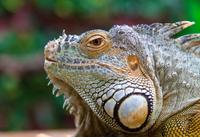 Iguana 11098080318| 写真素材・ストックフォト・画像・イラスト素材|アマナイメージズ