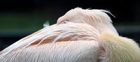 Pink Pelican 11098080341| 写真素材・ストックフォト・画像・イラスト素材|アマナイメージズ