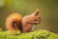 Red Squirrel 11098080359| 写真素材・ストックフォト・画像・イラスト素材|アマナイメージズ