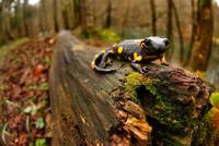 Salamander 11098080382| 写真素材・ストックフォト・画像・イラスト素材|アマナイメージズ