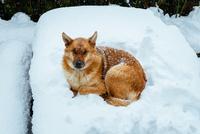 Snow Dog 11098080450| 写真素材・ストックフォト・画像・イラスト素材|アマナイメージズ
