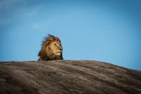 The Lion King, Serengeti, Tanzania 11098080477| 写真素材・ストックフォト・画像・イラスト素材|アマナイメージズ