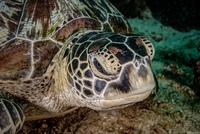 Green Turtle, Philippines 11098080482| 写真素材・ストックフォト・画像・イラスト素材|アマナイメージズ